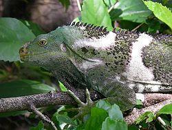 Crested Iguana delle Isole FIji