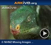 ARKive video - Fiji crested iguana displaying head bobbing behaviour