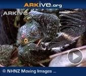 ARKive video - Pair of Fiji crested iguana fighting