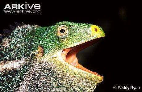 Crested Iguana