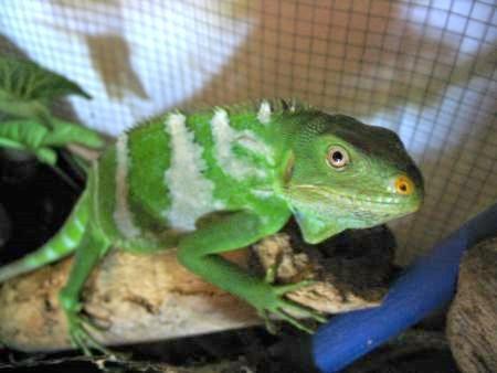Fiji Crested Iguana - primo piano