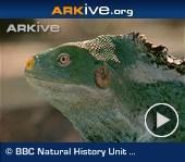 ARKive video - Fiji crested iguana appearance