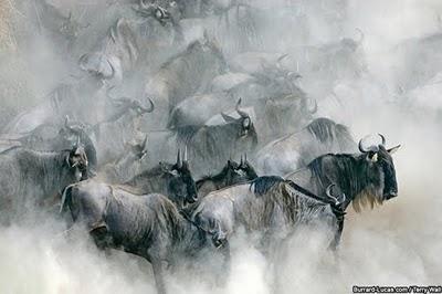 gnu nel Serengeti