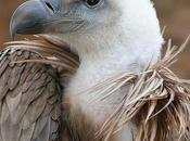 avvoltoi (...che amavano) sono stati separati
