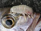 Crostaceo parassita sostituisce alla lingua pesci