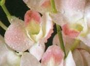 Come coltivano orchidee