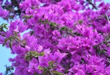 La potatura invernale delle siepi rampicanti paperblog for Bouganville fioritura