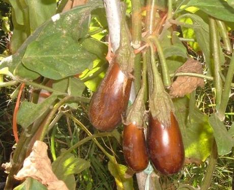 Le melanzane si seminano in luna crescente la semina - Semina pomodori luna ...