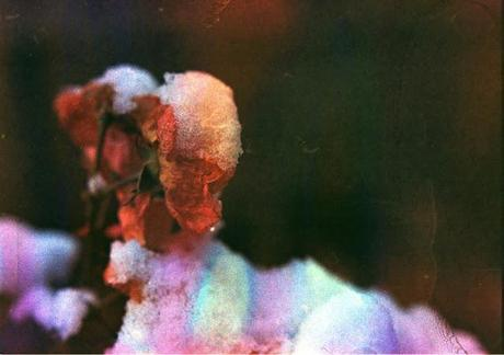 Dishwashed film - rose sotto la neve