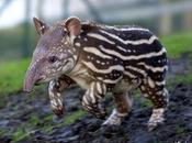 Tana tapiro!