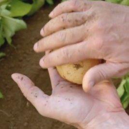 Un tesoro di patata