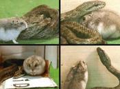 Storie incredibili Serpente criceto diventano amici