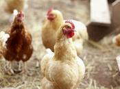 Irregolarita' negli allevamenti galline italia