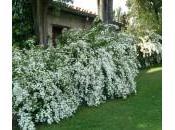 Spirea Spiraea, quale varietà piantare come potarla