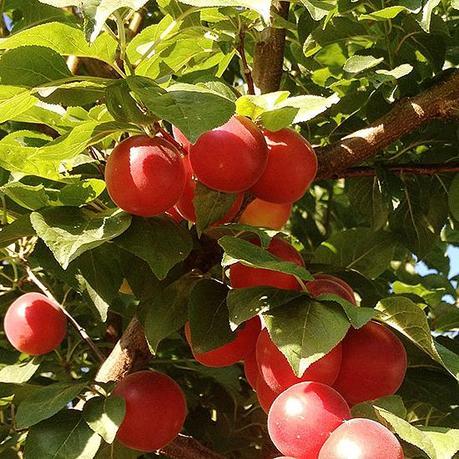 Gli antichi sapori dei frutti dimenticati paperblog for Piante antiche da frutto
