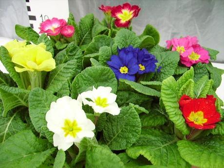 Voglia di primavera paperblog for Primule da colorare