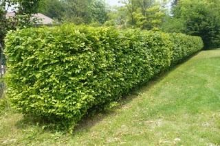 gli arbusti da siepe paperblog