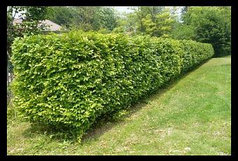 Gli arbusti da siepe paperblog for Arbusti da siepe