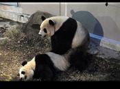 Giappone: Panda giganti sono accoppiati allo Tokyo