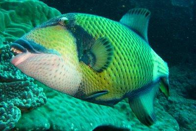 un Titan Triggerfish del Fiji Great Sea Reef