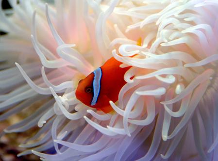 Un pesce pagliaccio del Great Sea Reef