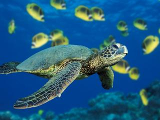 Una tartaruga marina verde del Great Sea Reef