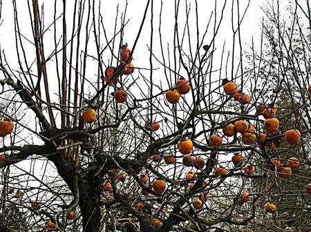 L albero di cachi paperblog for Albero di cachi