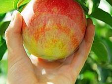 Green jobs raccolta fragole, mele pere danimarca