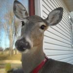 Dillie, cerbiatta vive nella casa della veterinaria l'ha salvata