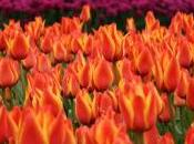 Istanbul, Europa: Festival tulipani Istanbul (edizione 2013)
