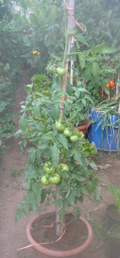 Come cimare e sfogliare i pomodori per una maggiore for Concime per pomodori