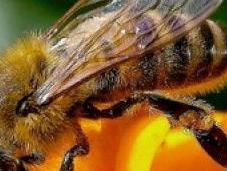 api, amiche nostro ecosistema stanno scomparendo! l'Europa corre ripari