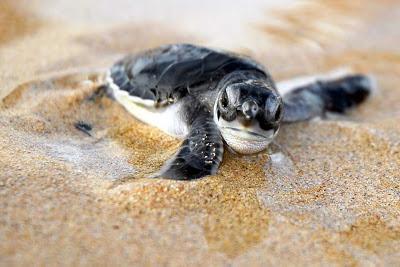 Milioni di tartarughe marine olive ridley sulla spiaggia for Tartarughe appena nate