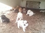 Finale Ligure: cuccioli labrador adottare