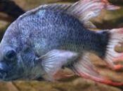 Cercasi disperatamente femmina specie acquatica d'estinzione