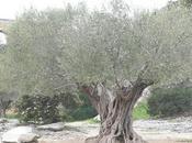 olivi sotto ponte Nimes
