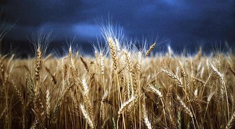 Stormy-Wheat-Fields