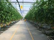 pomodori idroponica