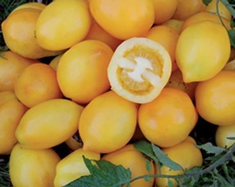I pomodori gialli una curiosita da mettere nell orto for Trapianto pomodori