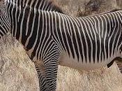 Zebra Grevy, l'unica specie zebra pericolo