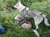 L'Alaskan Malamute altri maschi: reazioni Mercurio