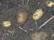 ecco patate...