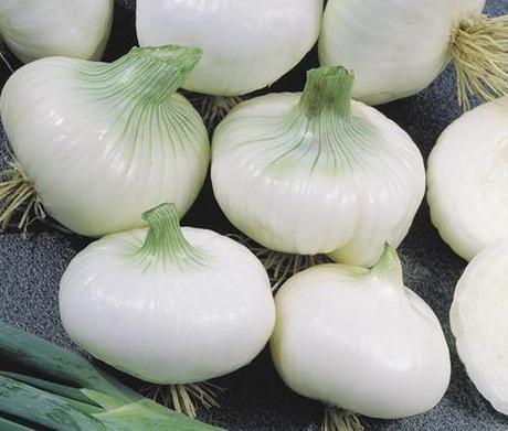 La cipolla precoce bianca si semina a partire da agosto for Semina cipolle