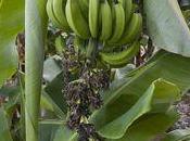 Costa d'Avorio, democrazia delle banane