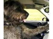 cani possono guidare macchina