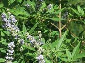 Vitex Agnus castus nome importante piante semplice