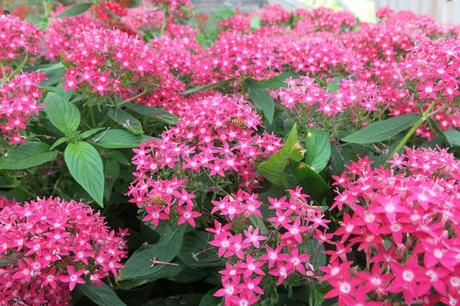 Le api sui fiori di pentas lanceolata in serra paperblog for Fiori estivi perenni