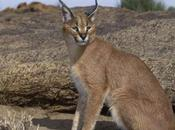 Fauna Marocco: Lince Caracal