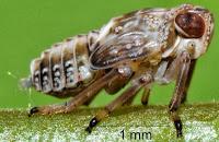 L'insetto inventò l'ingranaggio: Issus coleoptratus
