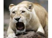 Cuccioli leone bianco allo Belgrado (foto)